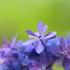 紫陽花の心Ⅵ