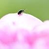訪問虫13 薔薇 ルリマルノミハムシ