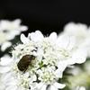訪問虫Ⅸ アレルア コアオハナムグリ