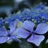 紫陽花の心Ⅲ