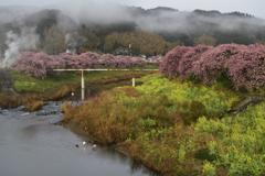 春の青野川 河津桜Ⅱ