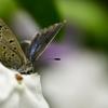 訪問虫Ⅷ ヤマトシジミチョウ  ニオイバンマツリ