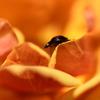 訪問虫Ⅺ 薔薇 2つ星テントウムシ
