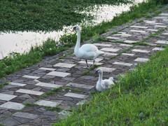 ちい散歩・手賀沼(てがぬま)