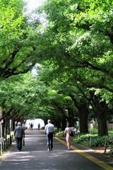 緑の外苑銀杏並木
