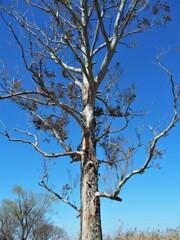 天高くユーカリの木