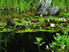水辺も楽しい矢の原湿原