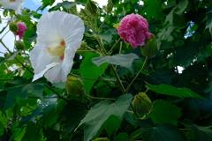 紅白flower