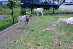 山羊な居場所