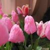 桃色なチューリップ花