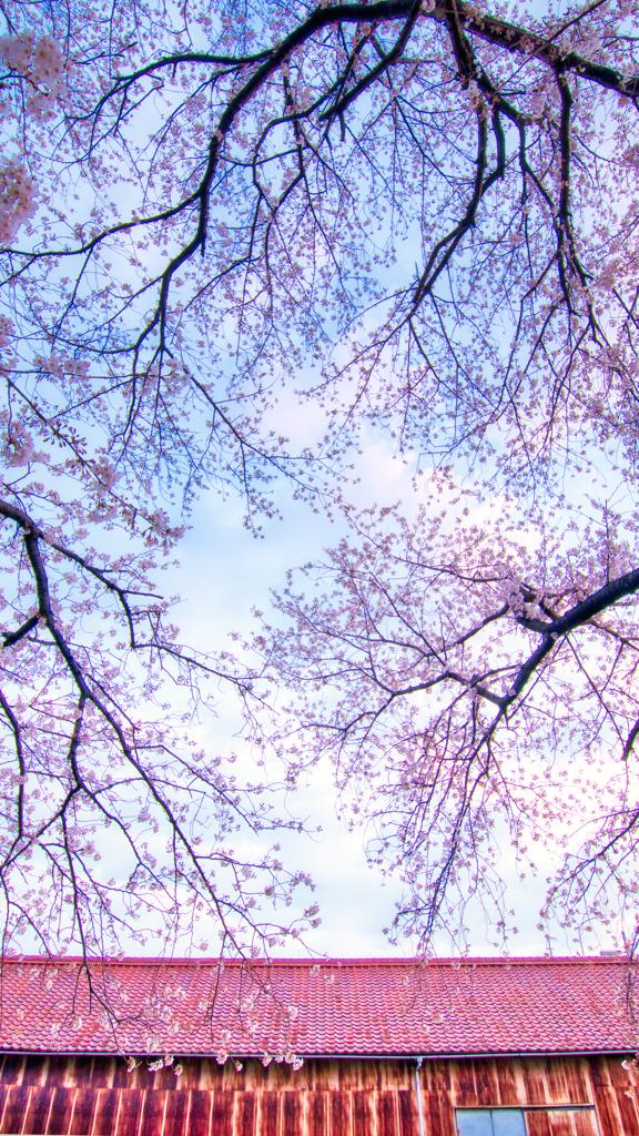 錆と桜・其の一