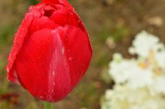 雨のチューリップ2