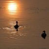 朝日の中の夫婦鴨