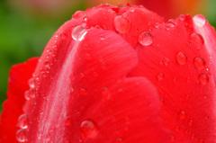 雨のチューリップ3