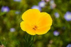 一輪の黄花