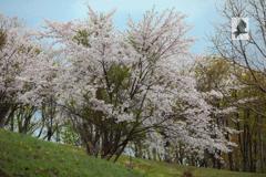 遅く咲く桜
