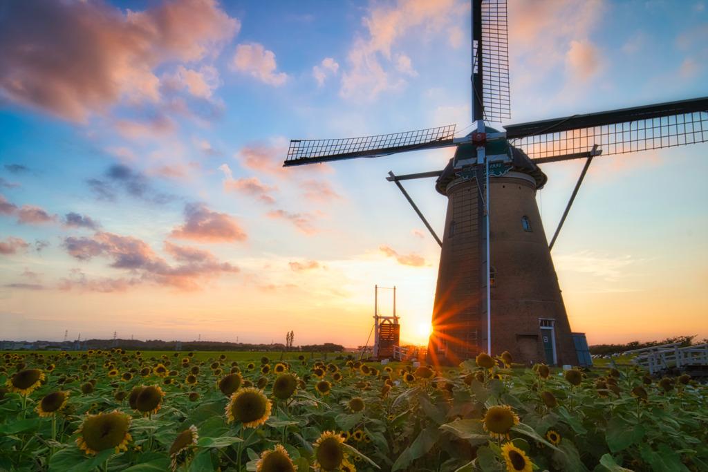 日の入り前の向日葵と風車