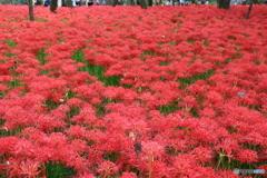 ヒガンバナ 赤い絨毯