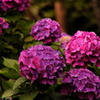 紫陽花赤紫
