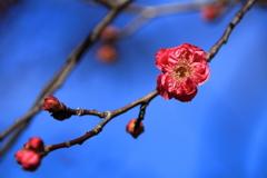 天満宮の梅
