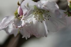 稀少なマクロレンズで十月桜を撮る-➄
