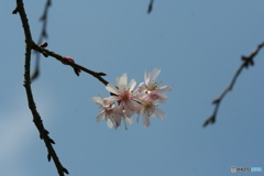 桜の里・十月桜 2007-➃