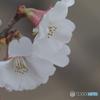 Auto Soligor 135mm f=2.8で冬桜を接写する-➃