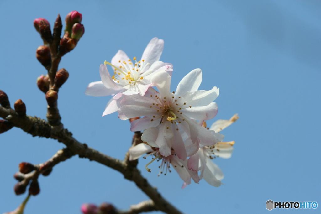 桜の里・十月桜 2007-①