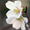 十月桜と冬桜-➃