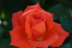 シリーズ・薔薇(IMG_4432)221111