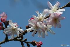 桜の里・十月桜 2007-➁