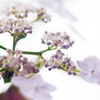 紫陽花20200609-②