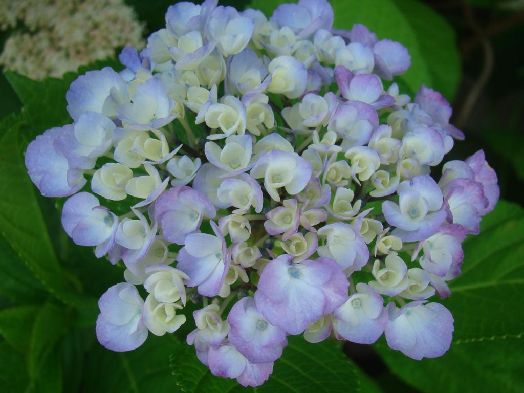 そろそろこの花の季節です ⑦