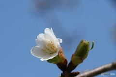 桜の里・河津桜 2007-③