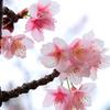 土肥桜 2019-➄