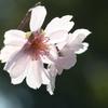 稀少なマクロレンズで十月桜を撮る-➁