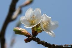 桜の里・河津桜 2007-➃