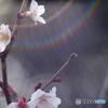 Auto Soligor 135mm f=2.8で冬桜を接写する-➆