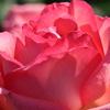 シリーズ薔薇IMG_4601