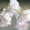 稀少なマクロレンズでを十月桜を撮る-➃