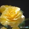 シリーズ薔薇 P1020362