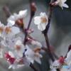 Auto Soligor 135mm f=2.8で冬桜を接写する-①