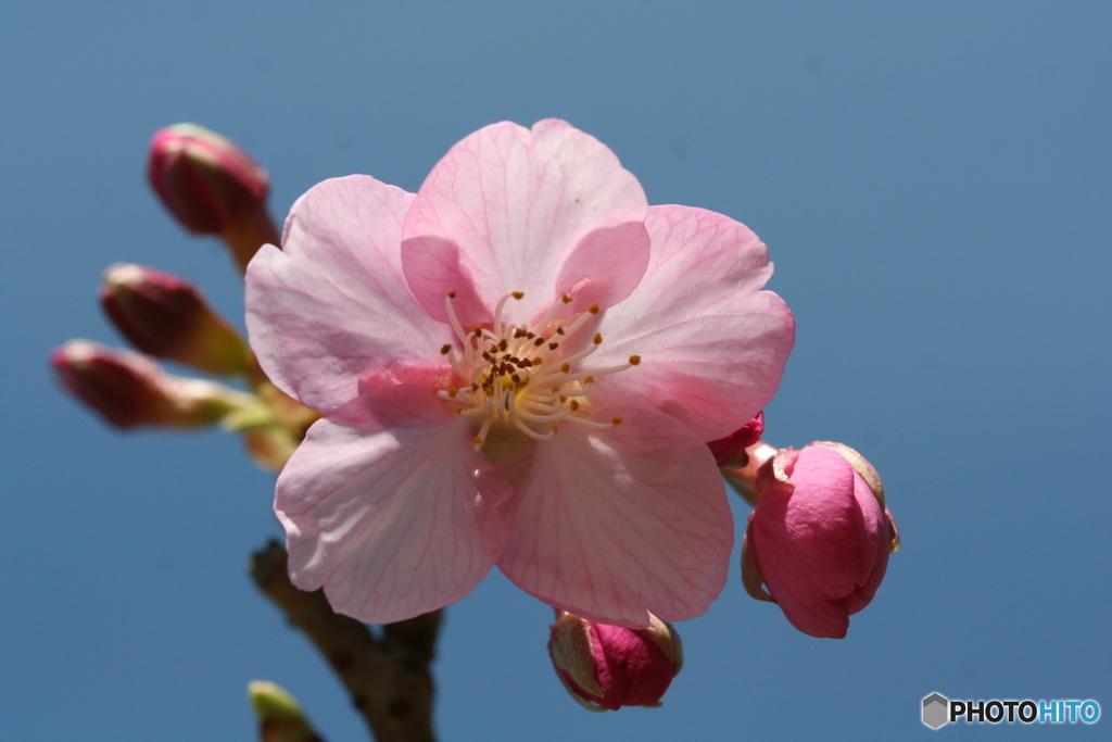 桜の里・河津桜 2008