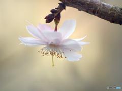 横顔の十月桜