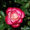 シリーズ薔薇 DSC_0048