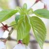 食べられる桜葉-①