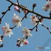 桜の里・十月桜 2007-③