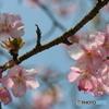 桜の里・河津桜 2007-➁