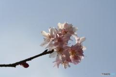 桜の里・十月桜 2007-➄