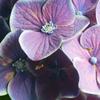 夢想と現実の紫陽花-⑥